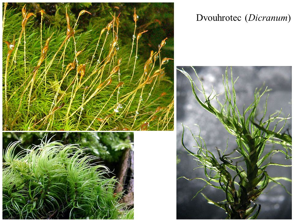 Dvouhrotec (Dicranum)