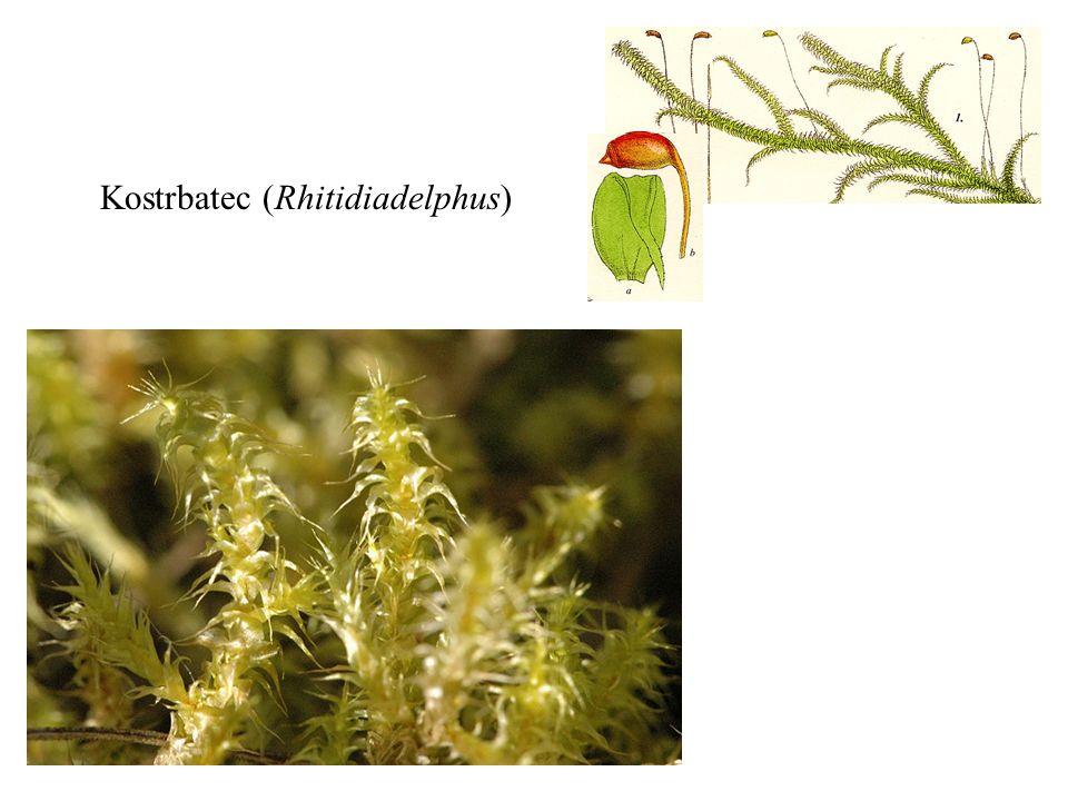 Kostrbatec (Rhitidiadelphus)