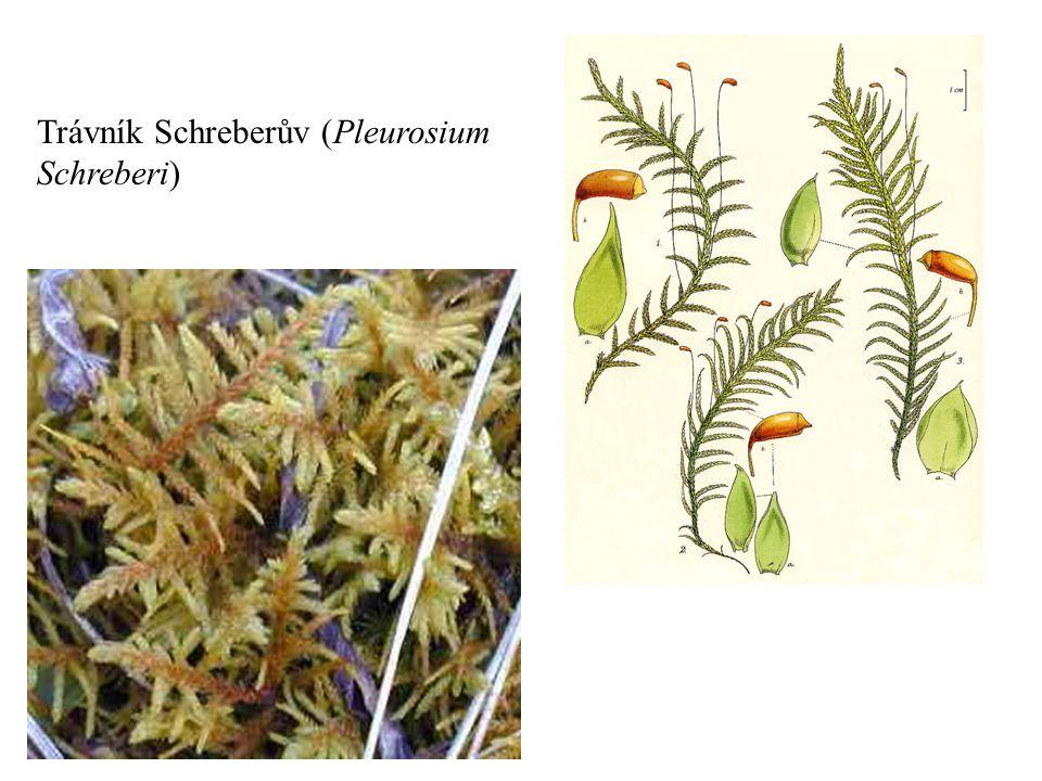 Trávník Schreberův (Pleurosium Schreberi)