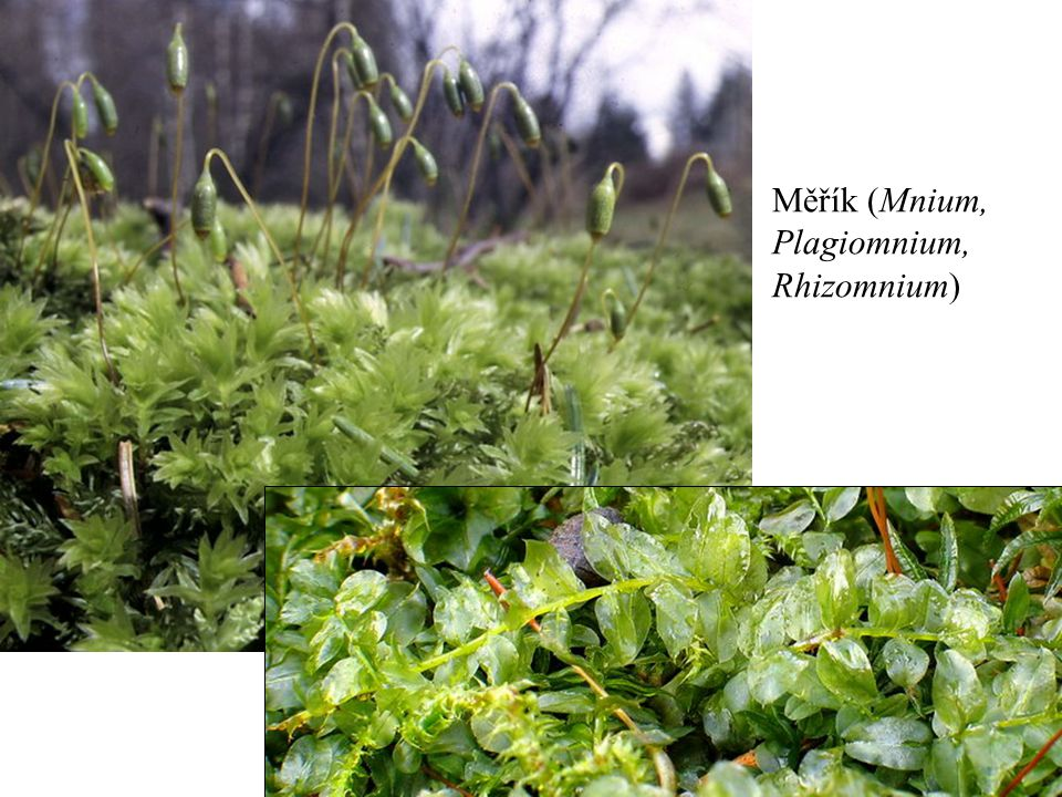 Měřík (Mnium, Plagiomnium, Rhizomnium)