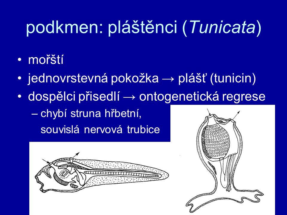 podkmen: pláštěnci (Tunicata) mořští jednovrstevná pokožka → plášť (tunicin) dospělci přisedlí → ontogenetická regrese –chybí struna hřbetní, souvislá
