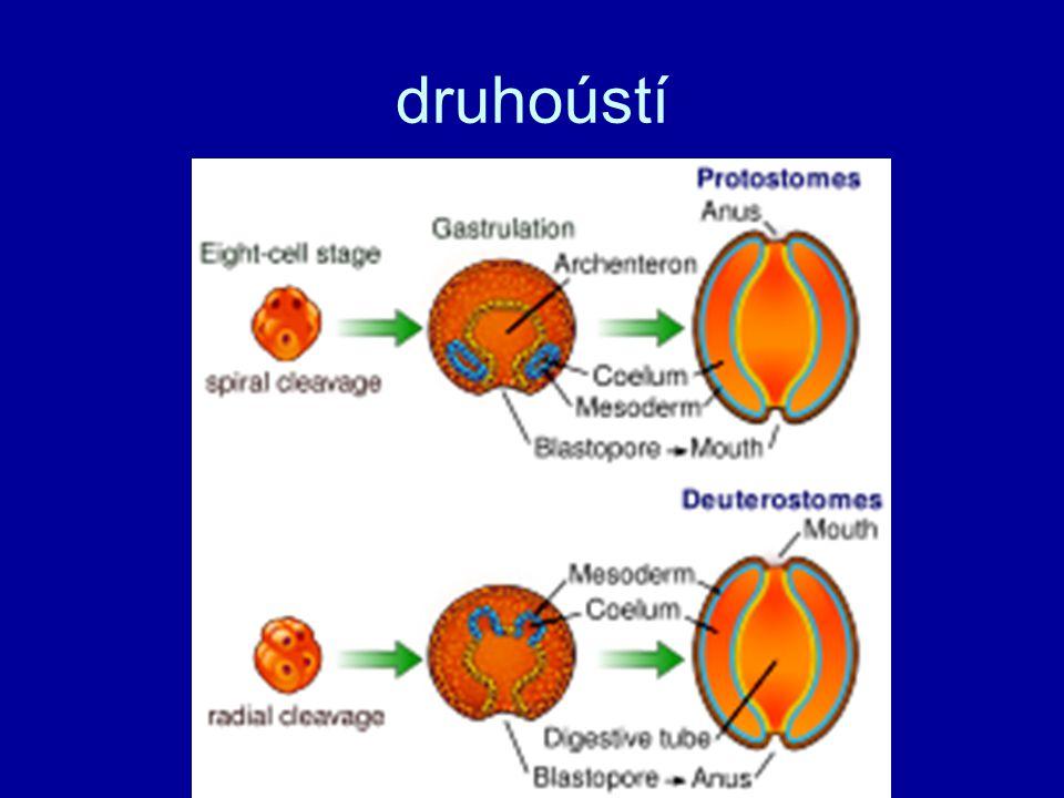 kmen: ostnokožci (Echinodermata) viz přednáška a pracovní list z laborek v testu nebudou sekundárně radiální (paprsčitá) souměrnost (larvy bilaterální – dvoustranná) ambulakrální soustava Aristotelova lucerna – ježovky třídy: ježovky (Echinoidea), lilijice (Crinoidea), hvězdice (Astroidea), hadice (Ophiuroidea), sumýši (Holothuroidea)
