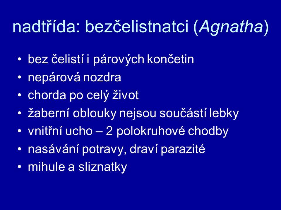 nadtřída: bezčelistnatci (Agnatha) bez čelistí i párových končetin nepárová nozdra chorda po celý život žaberní oblouky nejsou součástí lebky vnitřní