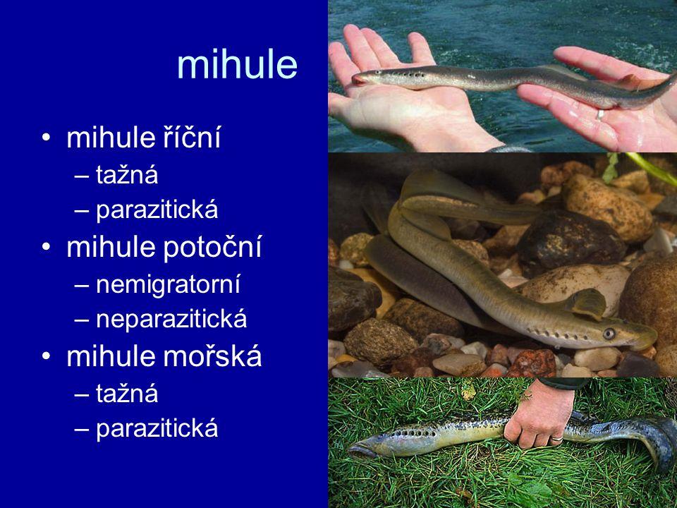 mihule mihule říční –tažná –parazitická mihule potoční –nemigratorní –neparazitická mihule mořská –tažná –parazitická