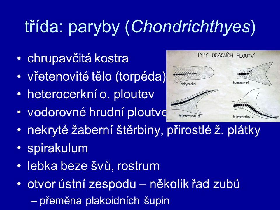 třída: paryby (Chondrichthyes) chrupavčitá kostra vřetenovité tělo (torpéda) heterocerkní o. ploutev vodorovné hrudní ploutve nekryté žaberní štěrbiny