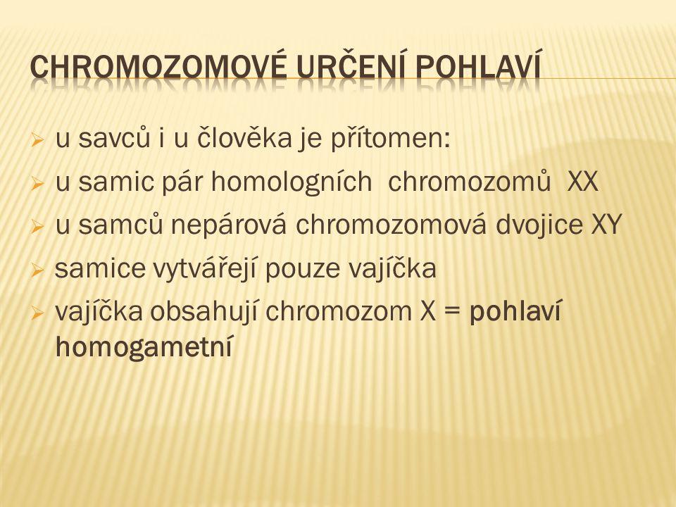  u savců i u člověka je přítomen:  u samic pár homologních chromozomů XX  u samců nepárová chromozomová dvojice XY  samice vytvářejí pouze vajíčka