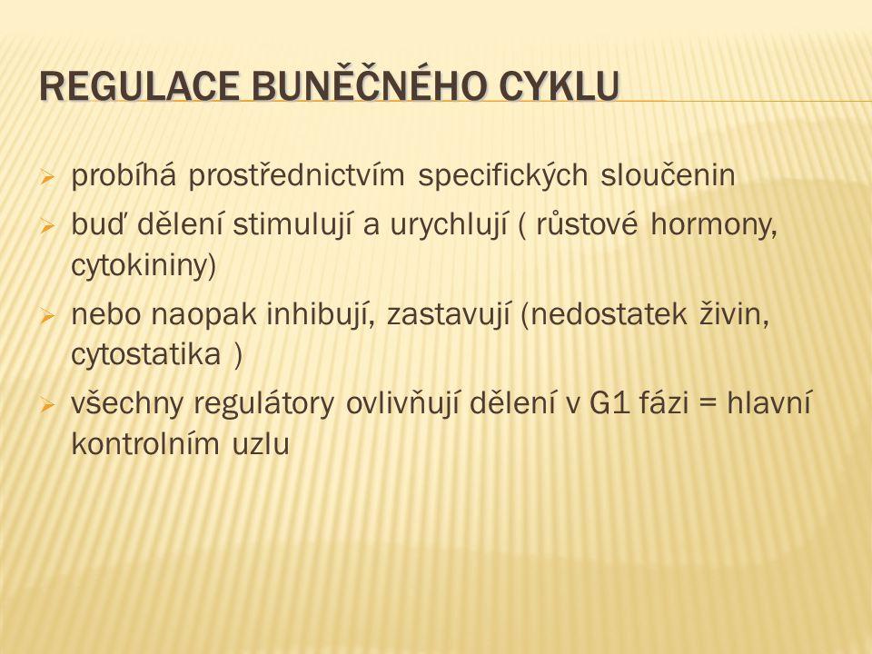 REGULACE BUNĚČNÉHO CYKLU  probíhá prostřednictvím specifických sloučenin  buď dělení stimulují a urychlují ( růstové hormony, cytokininy)  nebo naopak inhibují, zastavují (nedostatek živin, cytostatika )  všechny regulátory ovlivňují dělení v G1 fázi = hlavní kontrolním uzlu