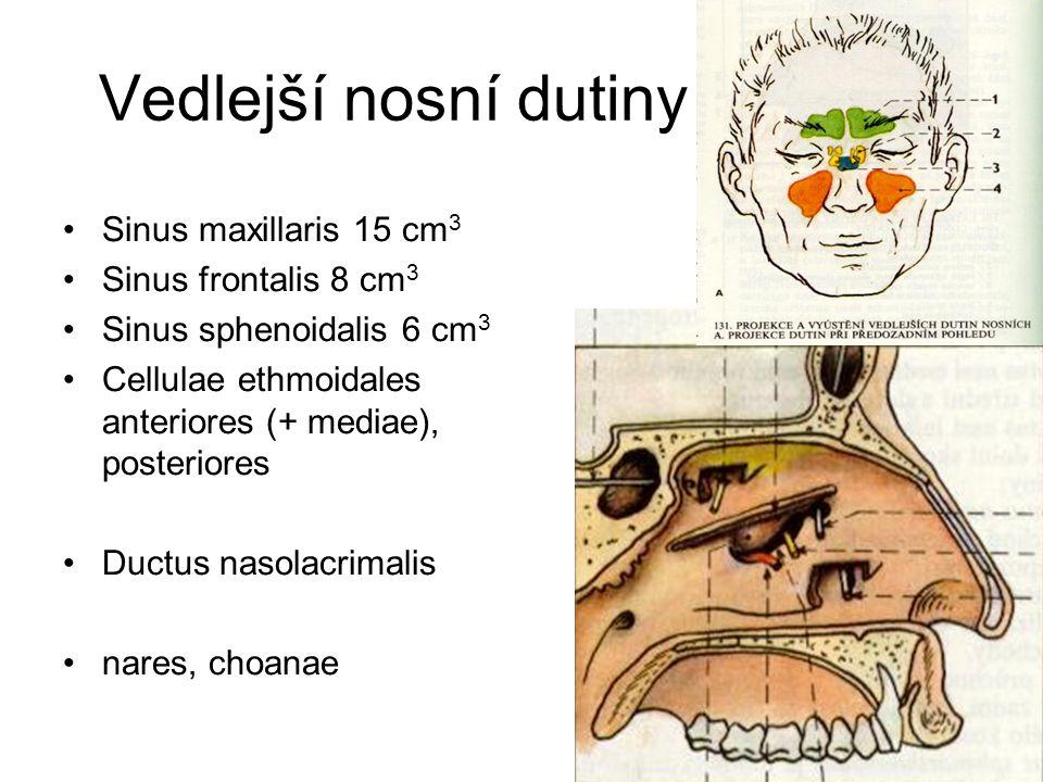 Vedlejší nosní dutiny Sinus maxillaris 15 cm 3 Sinus frontalis 8 cm 3 Sinus sphenoidalis 6 cm 3 Cellulae ethmoidales anteriores (+ mediae), posteriore