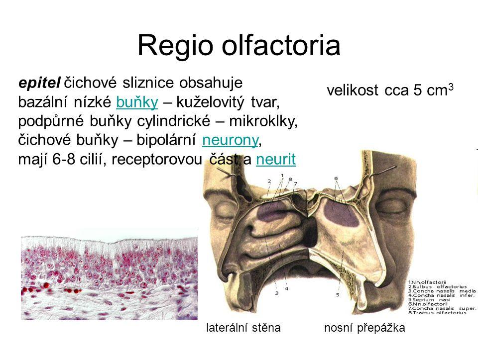 Regio olfactoria laterální stěna nosní přepážka velikost cca 5 cm 3 epitel čichové sliznice obsahuje bazální nízké buňky – kuželovitý tvar,buňky podpů