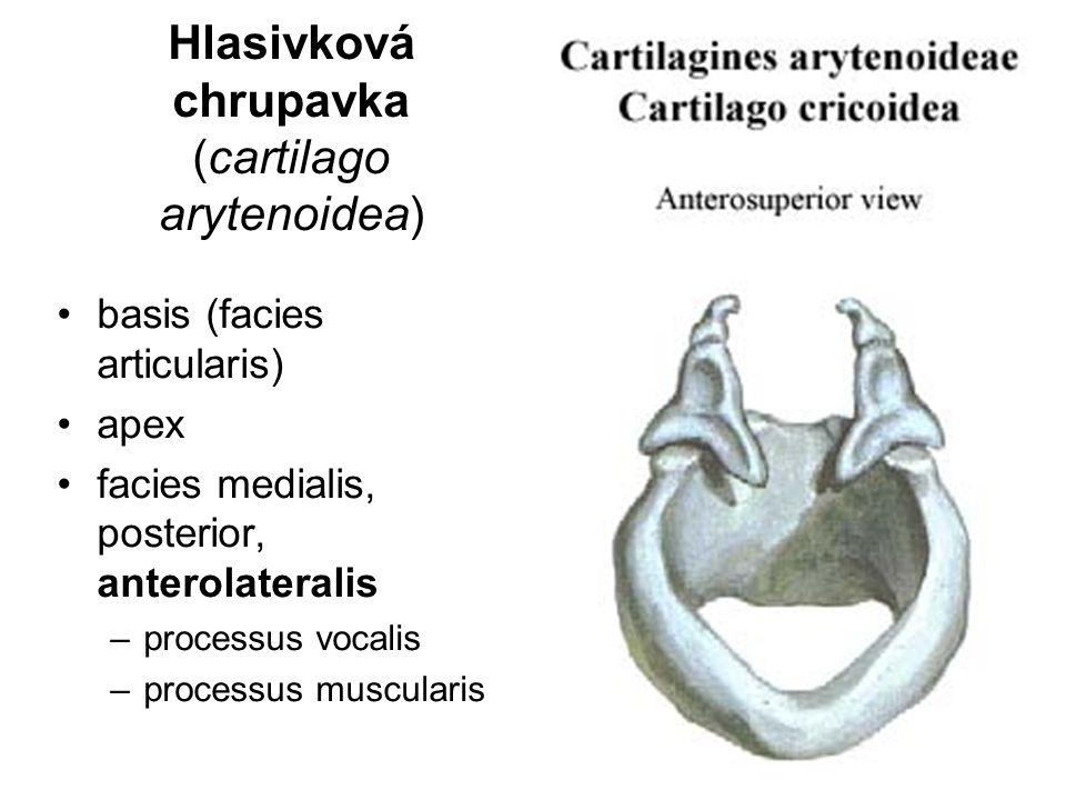 Hlasivková chrupavka (cartilago arytenoidea) basis (facies articularis) apex facies medialis, posterior, anterolateralis –processus vocalis –processus