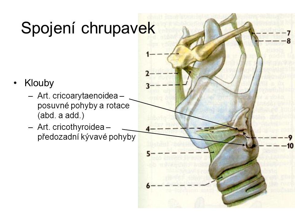 Spojení chrupavek Klouby –Art. cricoarytaenoidea – posuvné pohyby a rotace (abd. a add.) –Art. cricothyroidea – předozadní kývavé pohyby