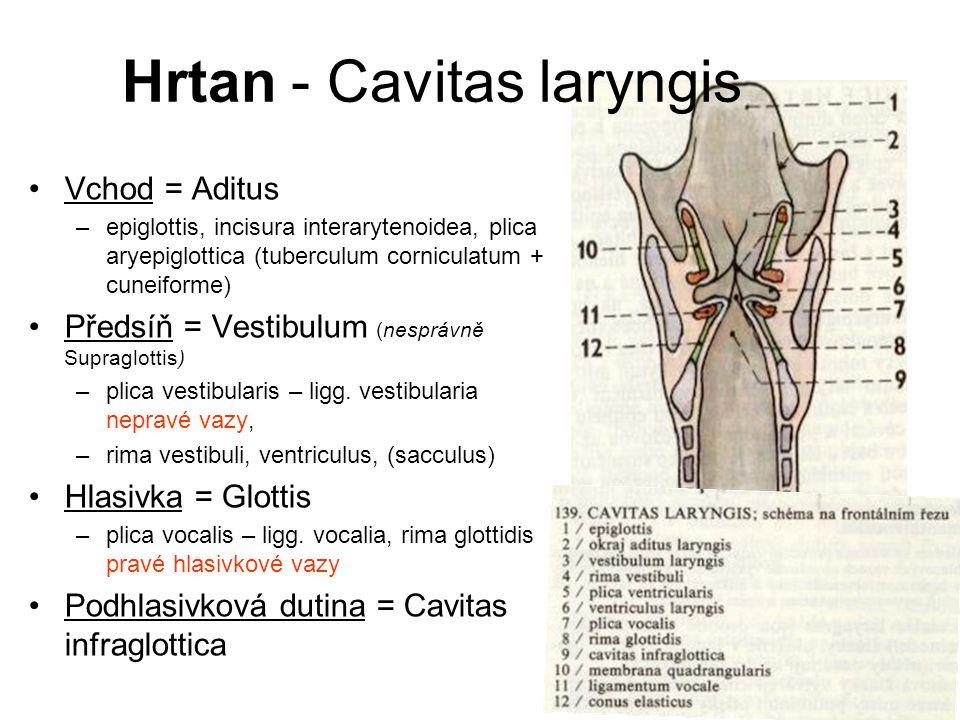 Vchod = Aditus –epiglottis, incisura interarytenoidea, plica aryepiglottica (tuberculum corniculatum + cuneiforme) Předsíň = Vestibulum (nesprávně Sup