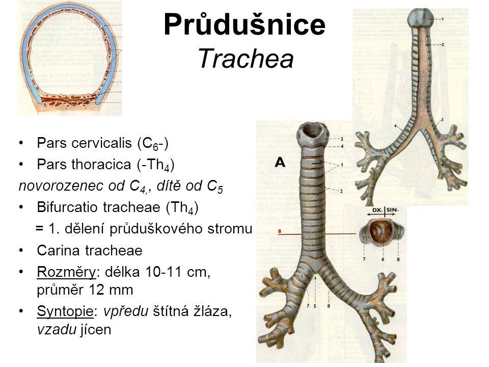 Průdušnice Trachea Pars cervicalis (C 6 -) Pars thoracica (-Th 4 ) novorozenec od C 4,, dítě od C 5 Bifurcatio tracheae (Th 4 ) = 1. dělení průduškové