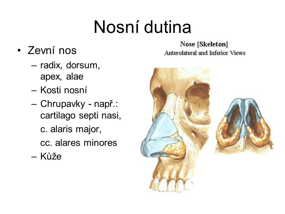 Nosní dutina Zevní nos –radix, dorsum, apex, alae –Kosti nosní –Chrupavky - např.: cartilago septi nasi, c. alaris major, cc. alares minores –Kůže