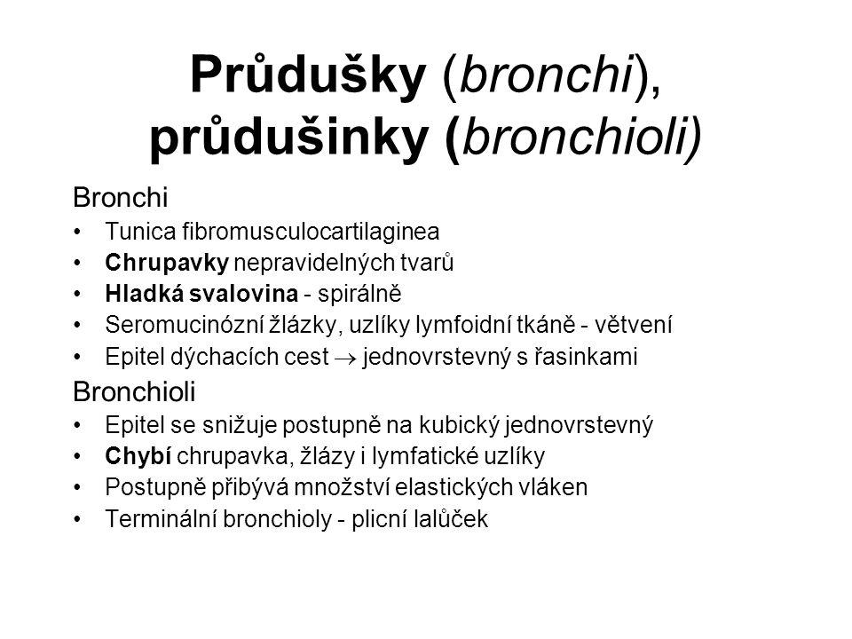 Průdušky (bronchi), průdušinky (bronchioli) Bronchi Tunica fibromusculocartilaginea Chrupavky nepravidelných tvarů Hladká svalovina - spirálně Seromuc