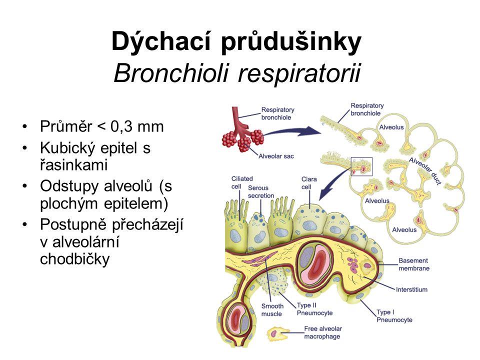 Dýchací průdušinky Bronchioli respiratorii Průměr < 0,3 mm Kubický epitel s řasinkami Odstupy alveolů (s plochým epitelem) Postupně přecházejí v alveo