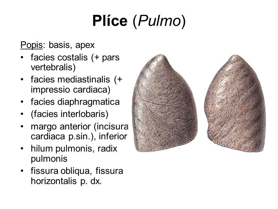 Plíce (Pulmo) Popis: basis, apex facies costalis (+ pars vertebralis) facies mediastinalis (+ impressio cardiaca) facies diaphragmatica (facies interl