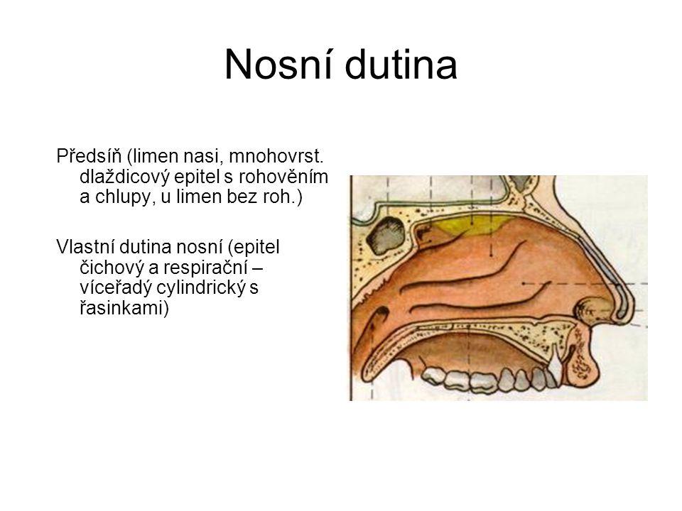 Nosní dutina Předsíň (limen nasi, mnohovrst. dlaždicový epitel s rohověním a chlupy, u limen bez roh.) Vlastní dutina nosní (epitel čichový a respirač