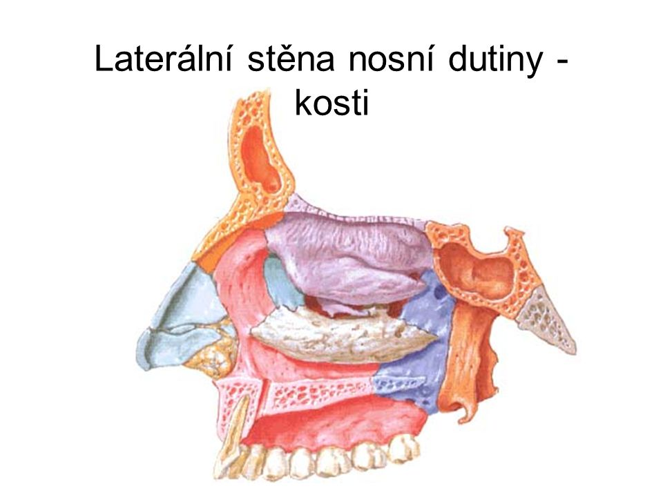 Laterální stěna nosní dutiny - kosti