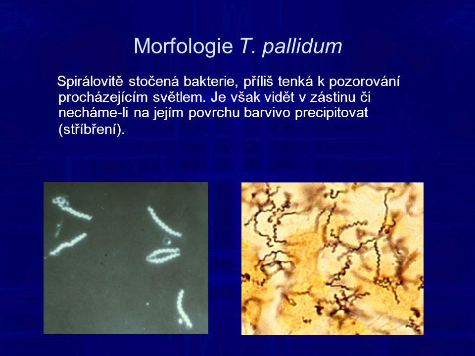 Morfologie T.