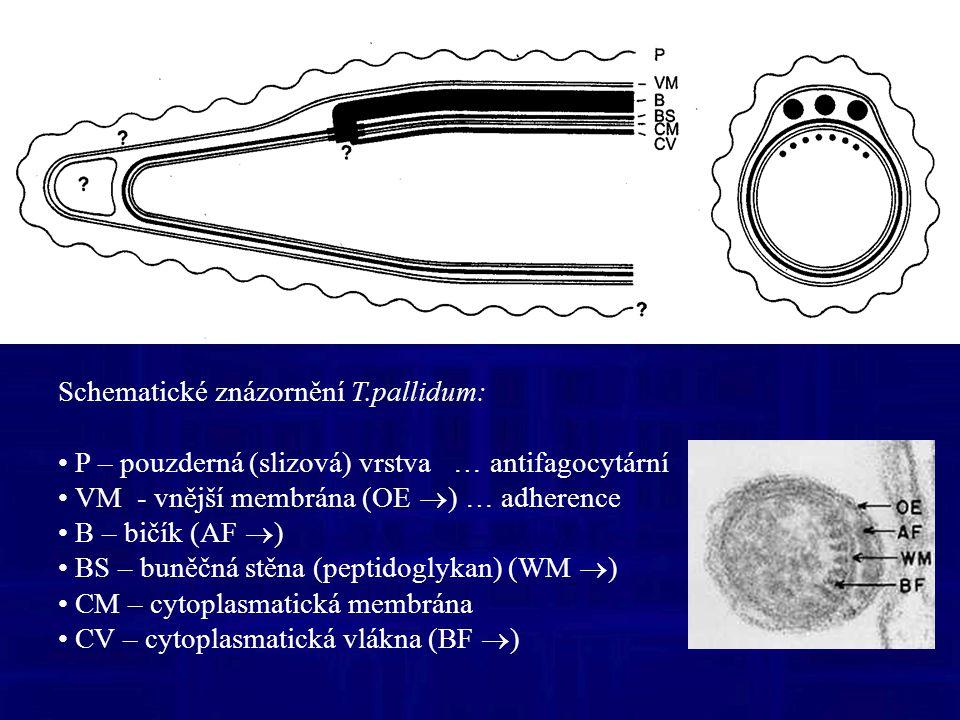 Schematické znázornění T.pallidum: P – pouzderná (slizová) vrstva … antifagocytární VM - vnější membrána (OE  ) … adherence B – bičík (AF  ) BS – buněčná stěna (peptidoglykan) (WM  ) CM – cytoplasmatická membrána CV – cytoplasmatická vlákna (BF  )
