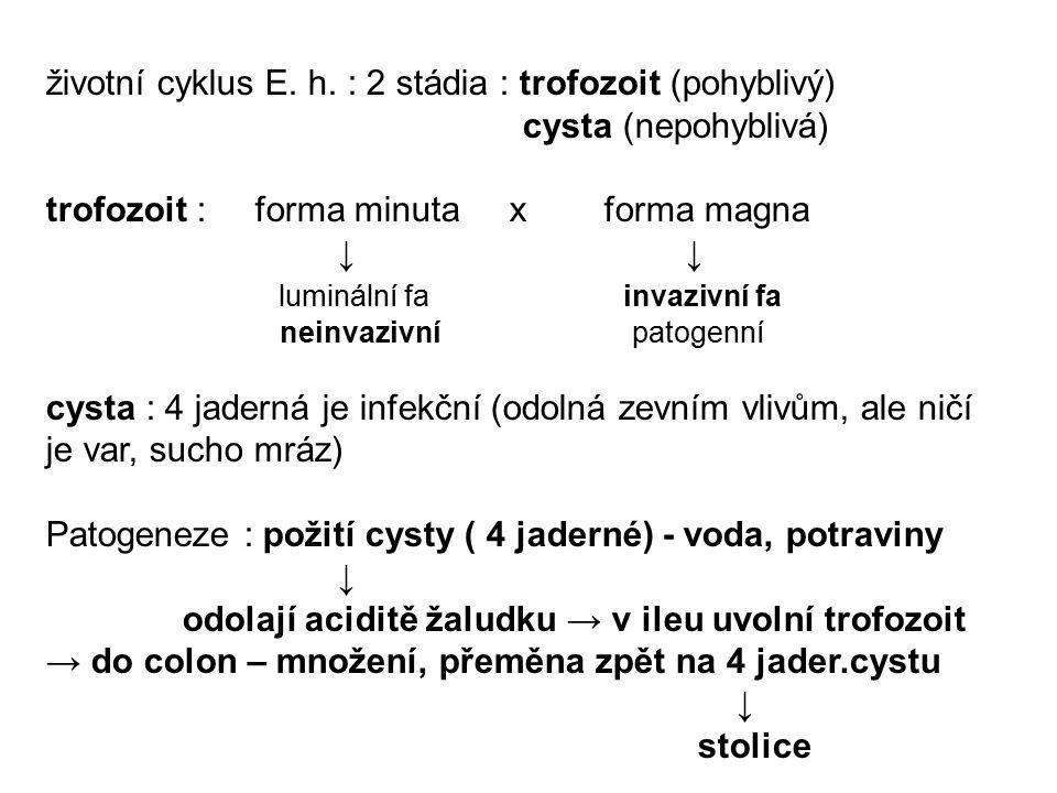 životní cyklus E. h. : 2 stádia : trofozoit (pohyblivý) cysta (nepohyblivá) trofozoit : forma minuta x forma magna ↓ ↓ luminální fa invazivní fa neinv