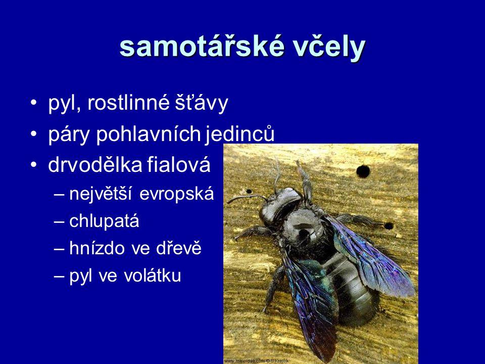 samotářské včely pyl, rostlinné šťávy páry pohlavních jedinců drvodělka fialová –největší evropská –chlupatá –hnízdo ve dřevě –pyl ve volátku