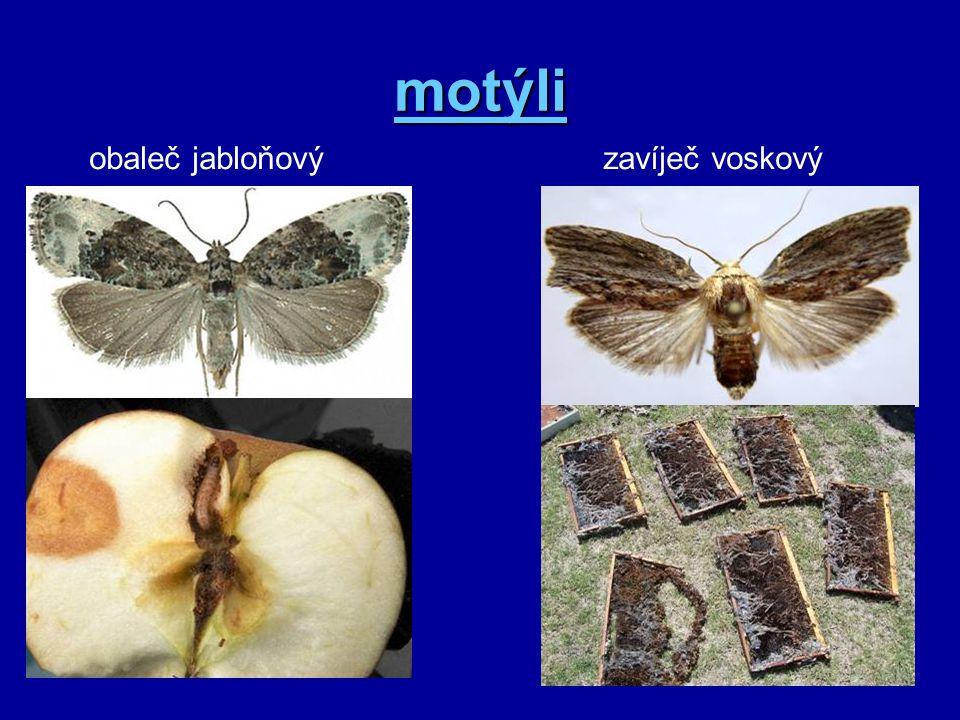motýli obaleč jabloňovýzavíječ voskový