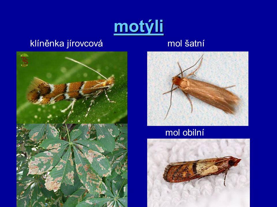motýli klíněnka jírovcovámol šatní mol obilní