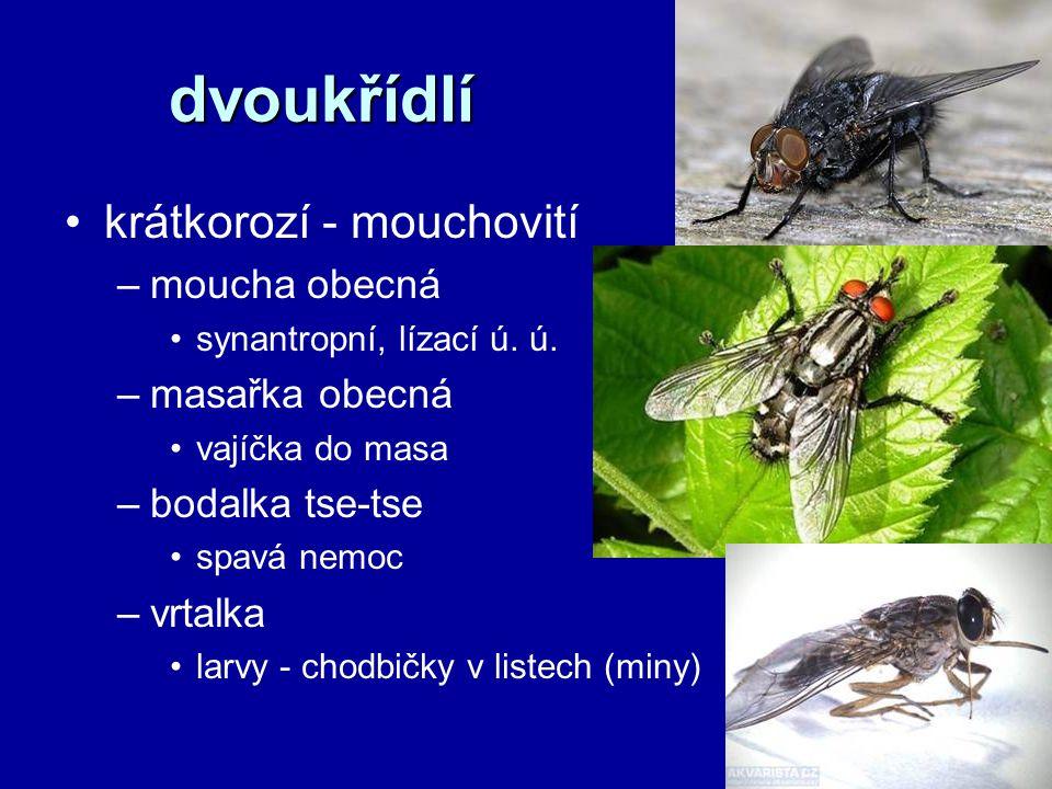 dvoukřídlí krátkorozí - mouchovití –moucha obecná synantropní, lízací ú. ú. –masařka obecná vajíčka do masa –bodalka tse-tse spavá nemoc –vrtalka larv