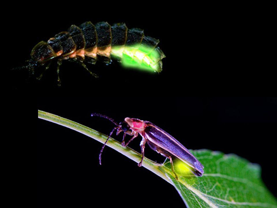 páteříčkovití dravé larvy i dospělci (členovci) obrana – toxické látky páteříček sněhový larvy na tajícím sněhu živí se mšicemi