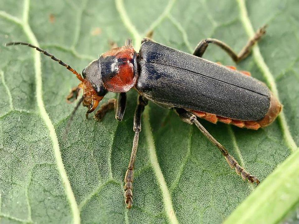kovaříkovití malá hlava, slabé nohy pružinový aparát (hruď) → z hřbetu na nohy býložravé larvy → škůdci kovařík černoskvrnný