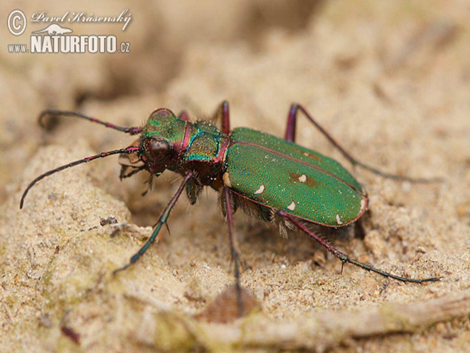 střevlíkovití velmi pohybliví, noční draví (hmyz, slimáci) silná kusadla hlava užší než hruď střevlík měděný