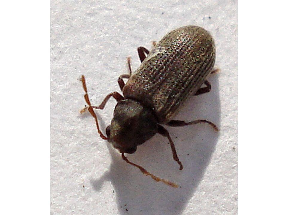 majkovití měkké tělo často barevné krovky úzký krček býložraví jedovatá tekutina z kloubů larvy se živí potravou včelích larev majka fialová