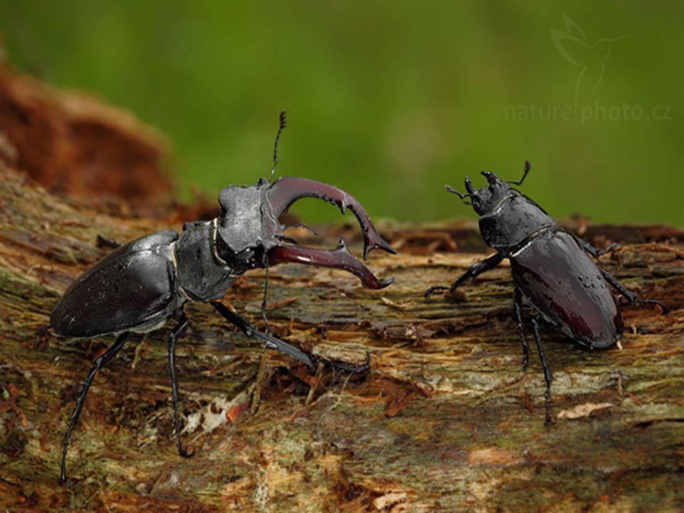 vrubounovití vějířovitá tykadla hrabavé nohy samečkové – výrůstky zlatohlávek Goliáš – 10.