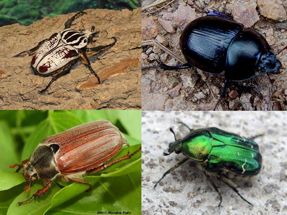 tesaříkovití silné nohy dlouhá uzlovitá tykadla larvy žijí ve dřevě tesařík obrovský duby