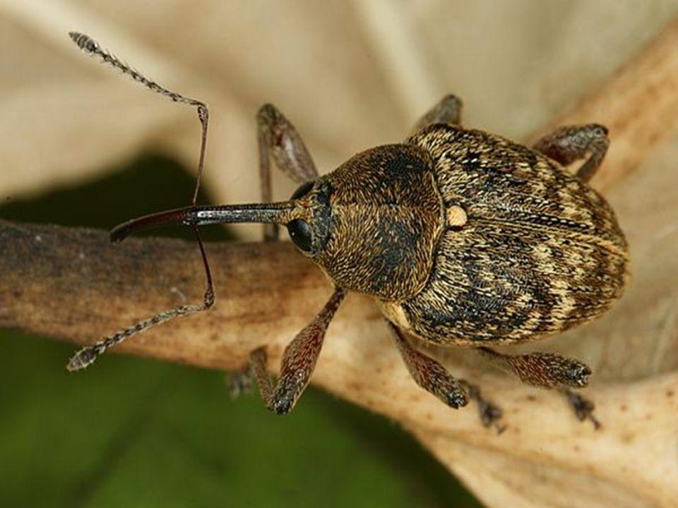 kůrovcovití larvy v lýku a pod kůrou → chodbičky → obrazce ožírání stromů, přenašeči chorob lýkožrout smrkový oslabené smrky