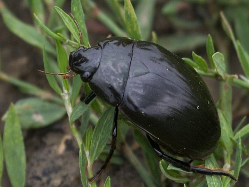 mrchožroutovití hygienický význam: živí se mršinami (v noci v párech) vajíčka do mršin → zahrabání (mutualismus s roztoči) hrobařík obecný paličkovitá tykadla