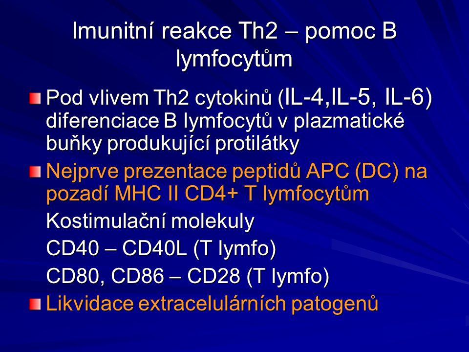 Imunitní reakce Th2 – pomoc B lymfocytům Pod vlivem Th2 cytokinů ( IL-4,IL-5, IL-6) diferenciace B lymfocytů v plazmatické buňky produkující protilátk