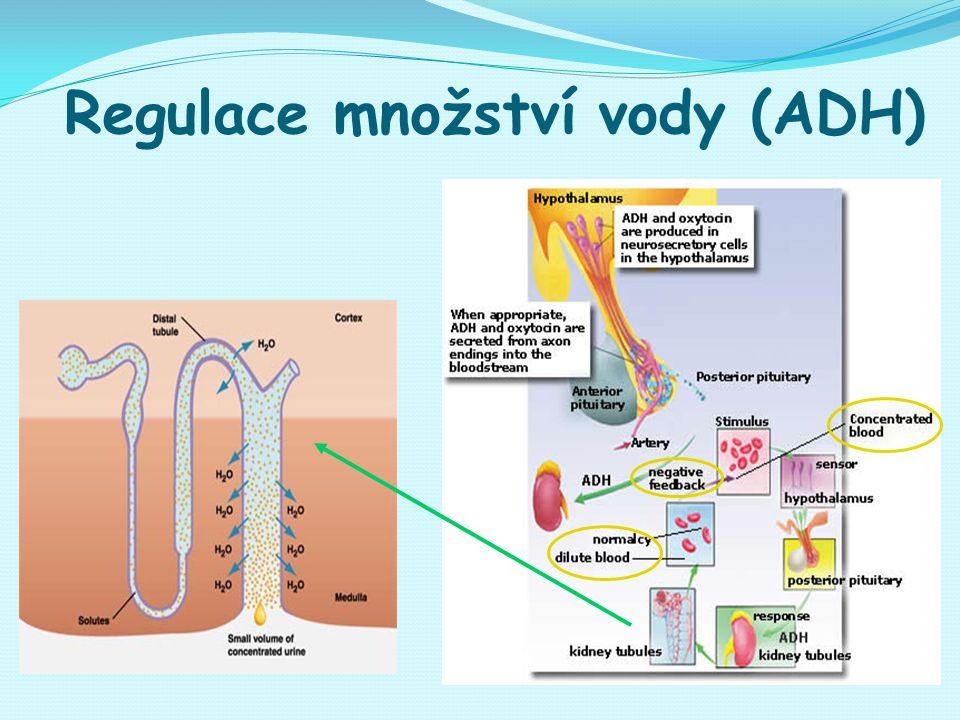 Regulace množství vody (ADH)