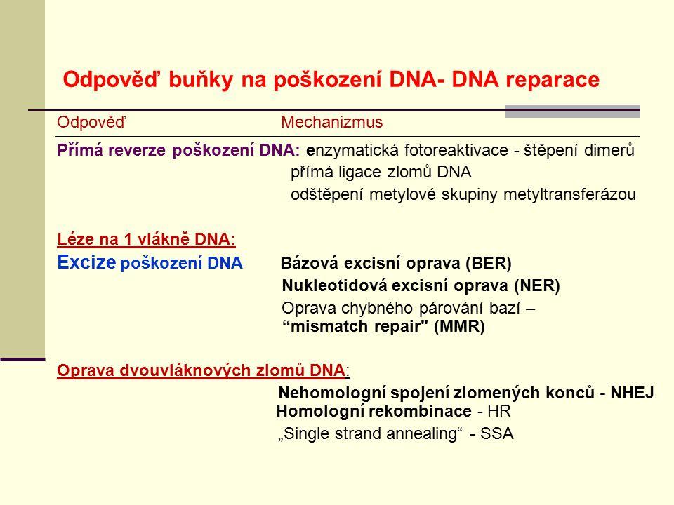 Odpověď Mechanizmus Přímá reverze poškození DNA: enzymatická fotoreaktivace - štěpení dimerů přímá ligace zlomů DNA odštěpení metylové skupiny metyltr