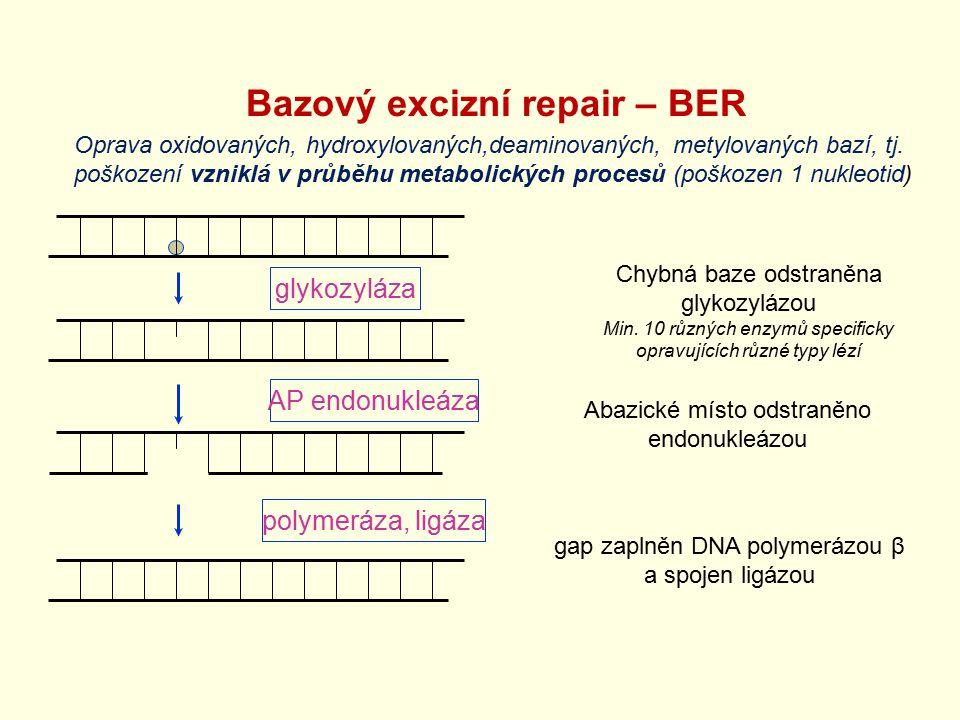 Bazový excizní repair – BER Chybná baze odstraněna glykozylázou Min. 10 různých enzymů specificky opravujících různé typy lézí glykozyláza AP endonukl