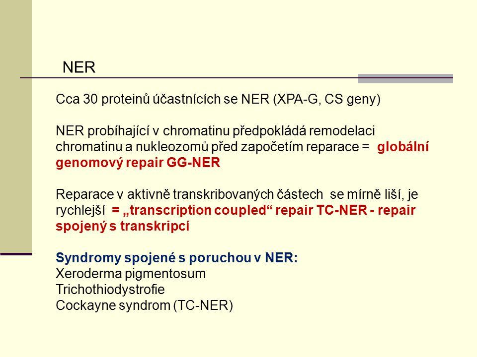 Cca 30 proteinů účastnících se NER (XPA-G, CS geny) NER probíhající v chromatinu předpokládá remodelaci chromatinu a nukleozomů před započetím reparac