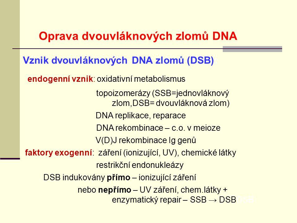 Vznik dvouvláknových DNA zlomů (DSB): endogenní vznik: oxidativní metabolismus topoizomerázy (SSB=jednovláknový zlom,DSB= dvouvláknová zlom) DNA repli