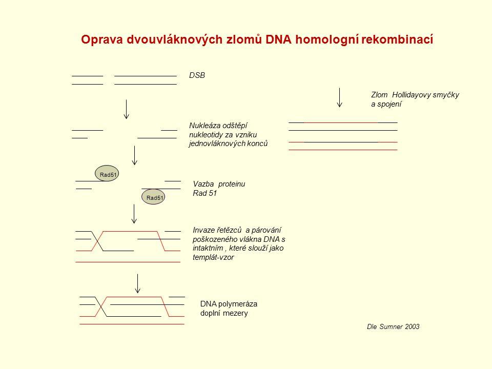 DSB Nukleáza odštěpí nukleotidy za vzniku jednovláknových konců Invaze řetězců a párování poškozeného vlákna DNA s intaktním, které slouží jako templá