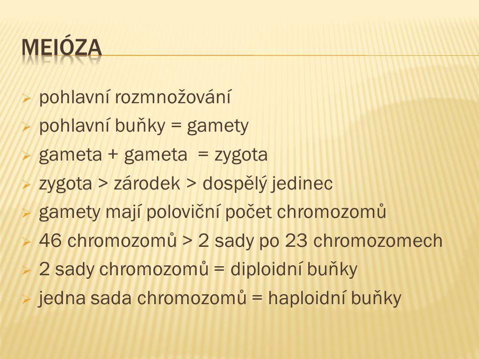  pohlavní rozmnožování  pohlavní buňky = gamety  gameta + gameta = zygota  zygota > zárodek > dospělý jedinec  gamety mají poloviční počet chromozomů  46 chromozomů > 2 sady po 23 chromozomech  2 sady chromozomů = diploidní buňky  jedna sada chromozomů = haploidní buňky