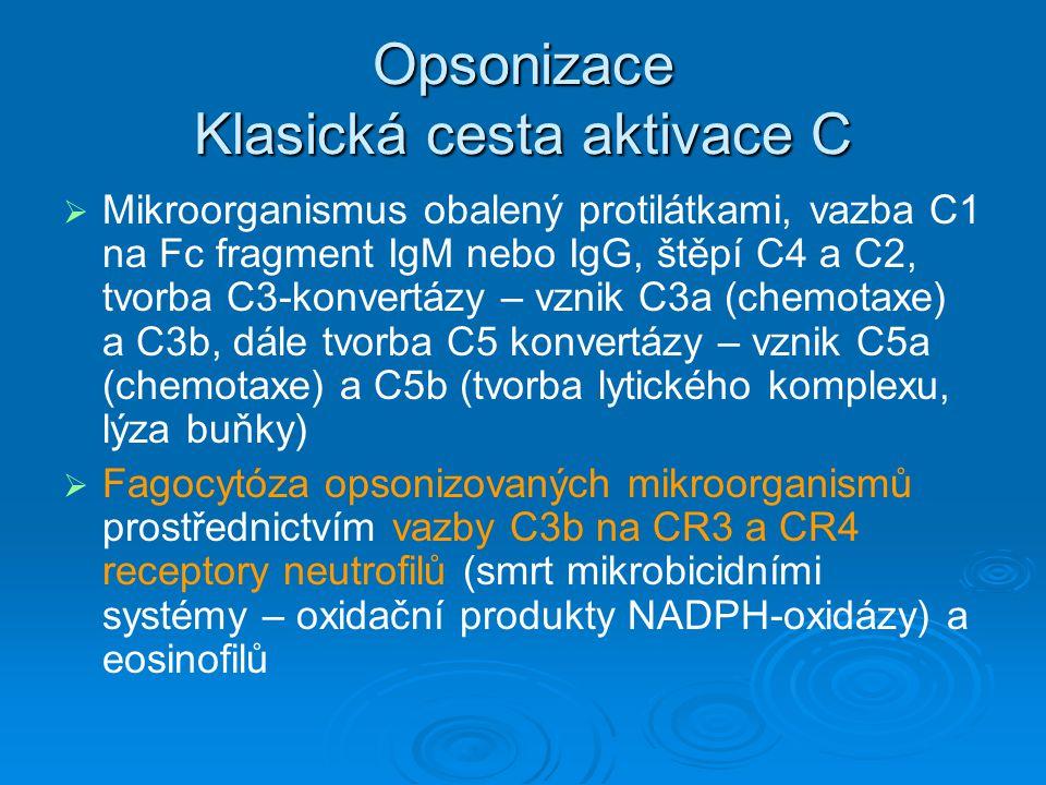 Opsonizace Klasická cesta aktivace C   Mikroorganismus obalený protilátkami, vazba C1 na Fc fragment IgM nebo IgG, štěpí C4 a C2, tvorba C3-konvertá