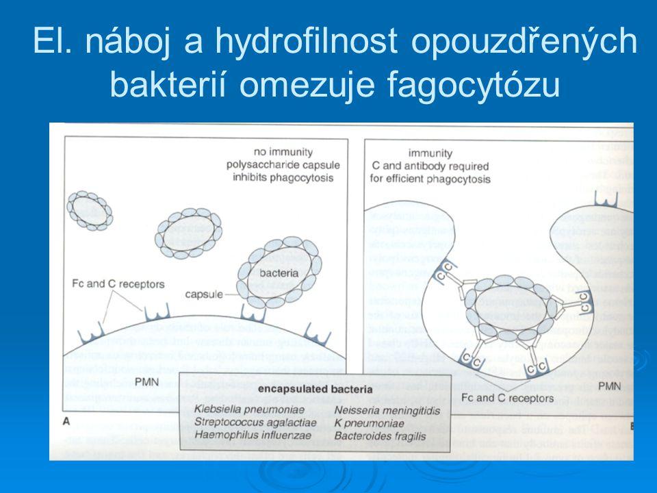 El. náboj a hydrofilnost opouzdřených bakterií omezuje fagocytózu