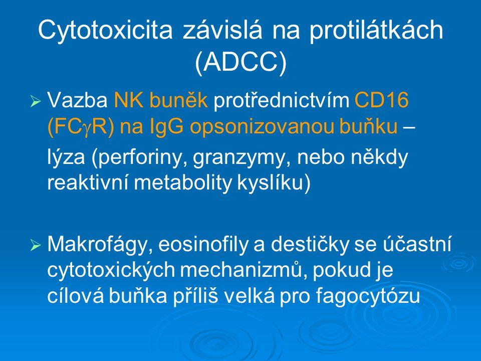 Cytotoxicita závislá na protilátkách (ADCC)   Vazba NK buněk protřednictvím CD16 (FC  R) na IgG opsonizovanou buňku – lýza (perforiny, granzymy, ne