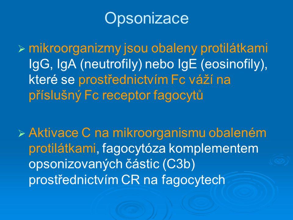 Opsonizace   mikroorganizmy jsou obaleny protilátkami IgG, IgA (neutrofily) nebo IgE (eosinofily), které se prostřednictvím Fc váží na příslušný Fc